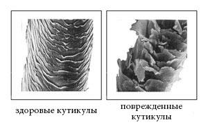 слева нормальные и справа поврежденные кутикулы